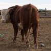 2015 Neon/Yankee bred Hereford bull