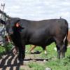 2015 Angus Bulls