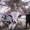 Registered 2 Year Old Texas Longhorn Bull