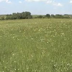 Medium prairie grass 2