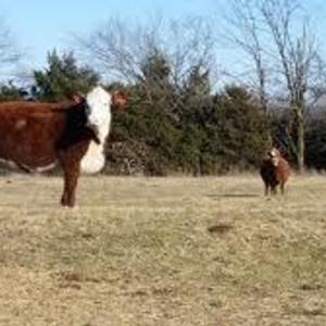 Medium herford   red cows