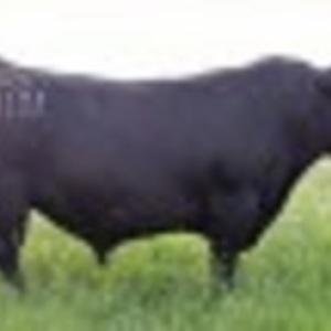 Medium hermann bulls  1