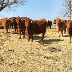 Medium cary cows red 1