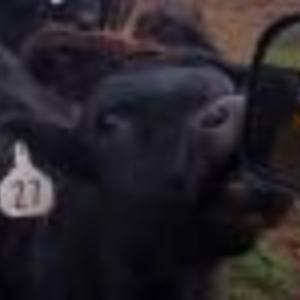 Medium spain bwf heifers