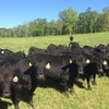 Thumb collins heifers 1a