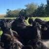 Angus/Amerifax Heifers - Bred