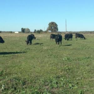 Medium ragsdale heifers
