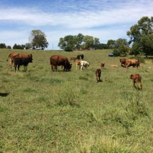 Medium millsap gelb cross cows