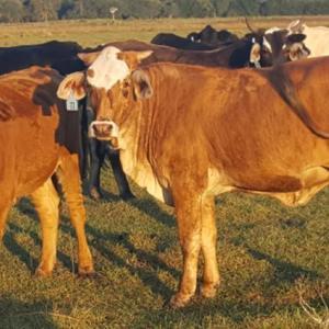Medium martin heifers 1