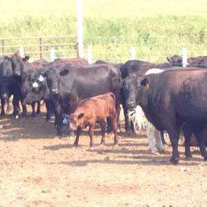 Medium ballew cows pairs
