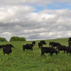 Medium ronnebaum heifers