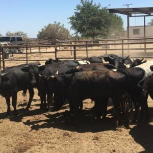 Medium 700x437xcattle p208 p3a12 p3a16.jpg qitok 57ructbr.pagespeed.ic.cppetksa0j