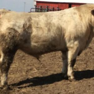 Medium peterson charolais bull