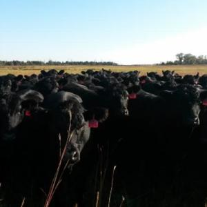 Medium kaczor heifers
