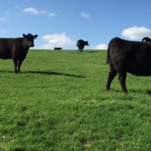 Medium gevelinger cows