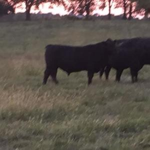 Medium conway bulls 1