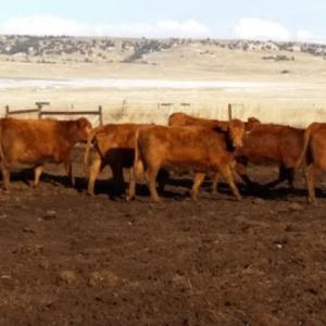 Medium lerwick heifers 3