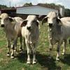 Thumb brasseaux bulls 2