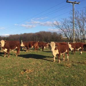 Medium reeves bulls 2