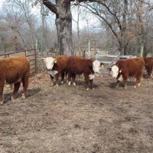 Medium binchi bulls