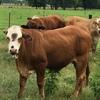 Thumb 1134 cattle 3