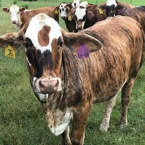 Medium 1134 cattle