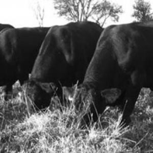 Medium jennings angus bulls 1
