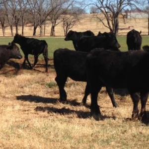 Medium mccorkle heifers 3