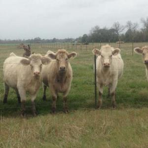 Medium romero heifers 1