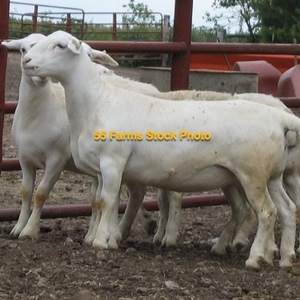 Medium sheep   dorper