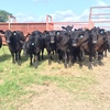 14 head of front pasture 100% angus heifers