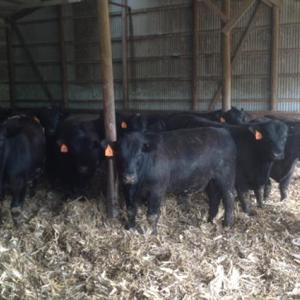 Medium bieber bulls 1