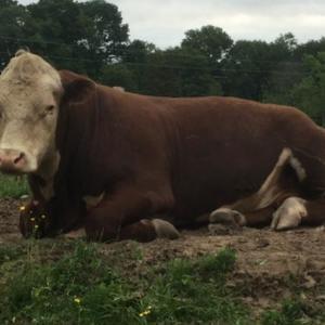 Medium polled bull 1
