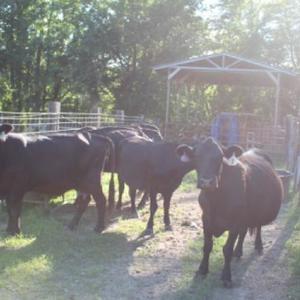 Medium odom cows