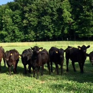 Medium mcaninch heifers