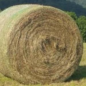 Medium stock photo of fescue hay