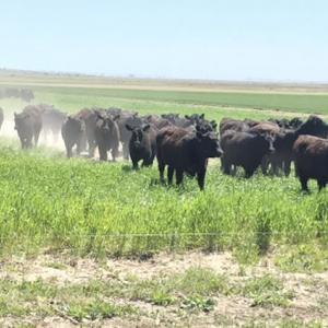 Medium wollert heifers 1