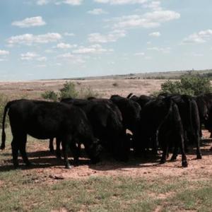 Medium dupree heifers