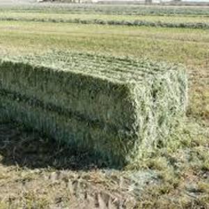 Medium alfalfa big square sample photo