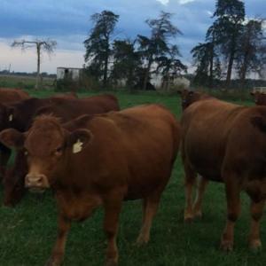 Medium grier heifers