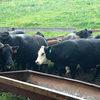 Angus Cross Cows - BRED