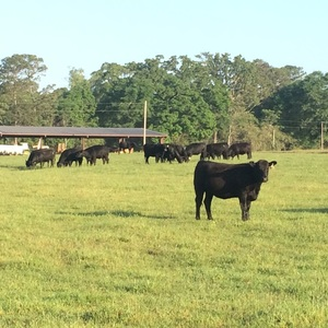 Medium sample angus cows