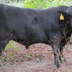 Medium kathka bulls 1