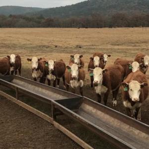 Medium hereford heifers open ar