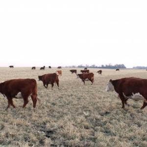 Medium hereford cows
