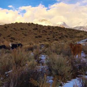 Medium 5 corriente cows