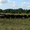 60 Bred Angus Heifers