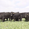 Registered Angus and Hereford Bulls