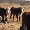 Hereford heifers