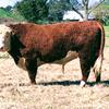 Hereford Bulls - Registered POLLED